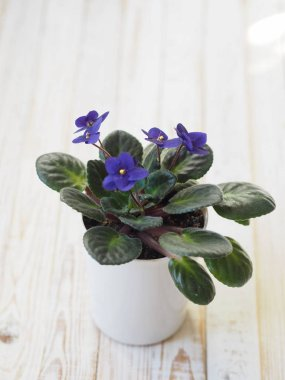 A simple violet violet in a pot on a white wooden table has blossomed. A house plant in the winter.