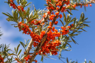 a sprig of sea-buckthorn with ripe orange berries on a backgroun