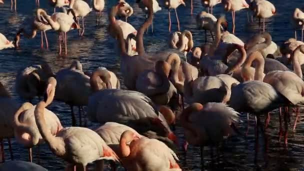 Greater Flamingos (Phoenicopterus roseus), Pont de Gau, Saintes Maries de la Mer Camargue, Francie