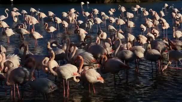 Greater Flamingos (Phoenicopterus roseus), Pont de Gau, Camargue, France.