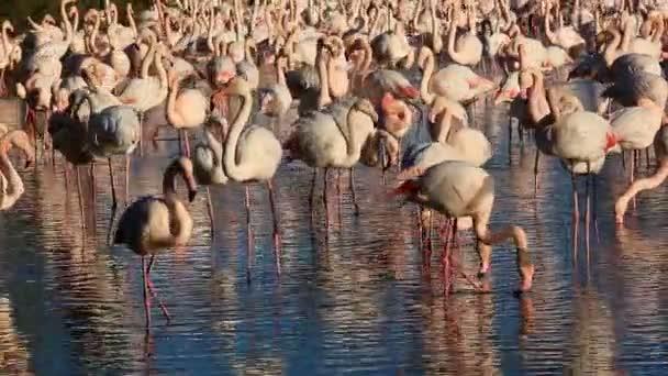 Greater Flamingos (Phoenicopterus roseus), Pont de Gau, Camargue, Francie.