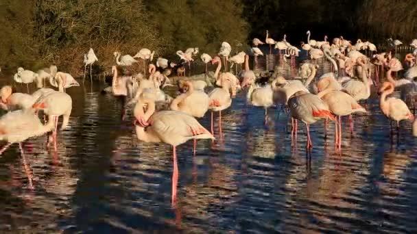 Flamingos (Phoenicopterus roseus), Pont de Gau, Camargue, Frankreich.