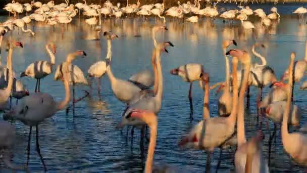 Greater Flamingos, Phoenicopterus roseus, Pont De Gau, Camargue, Francie. Větší plameňáci procházející se ve vodě během rituálu námluv