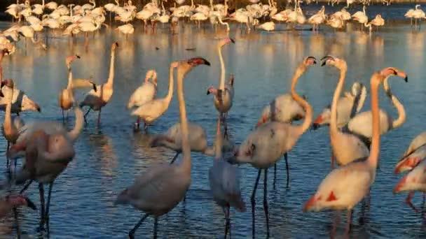 Nagyobb Flamingók, Phoenicopterus roseus, Pont De Gau, Camargue, Franciaország. Nagyobb flamingók sétálnak a vízben az udvarlási szertartás alatt.