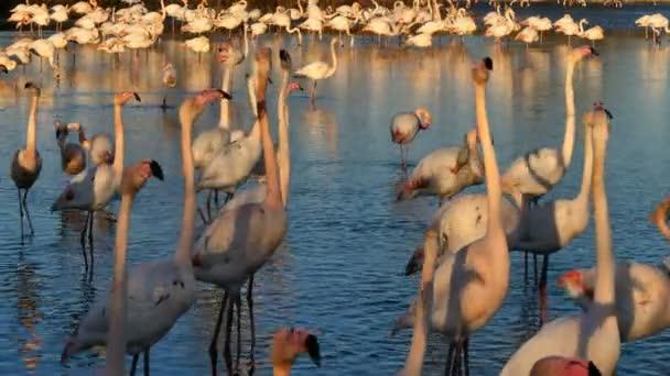 Große Flamingos, Phoenicopterus roseus, Pont De Gau, Camargue, Frankreich. Große Flamingos beim Balzritual im Wasser