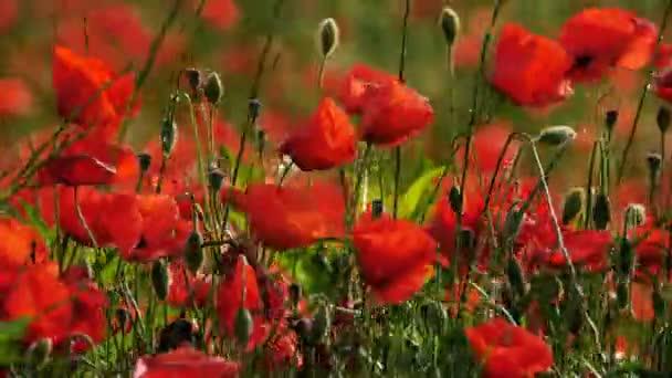Pole červených máků na francouzském venkově