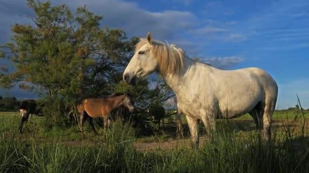 White Camargue Pferd, Camargue, Frankreich. Fohlen weißer Camargue-Pferde in den Sümpfen.