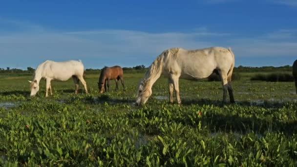 White Camargue ló, Camargue, Franciaország