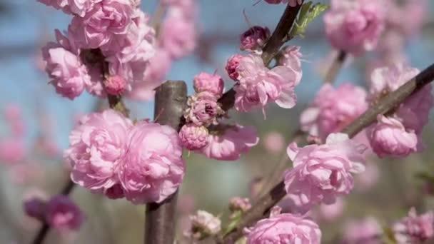 Větev růžové kvetoucí sakury se kymácí ve větru. Pohyblivá kamera, záběr zblízka. Modrá obloha. větve kvetou růžové mandle. Koncept kvetoucích rostlin a jarní zahrady. Jarní kvetoucí sad