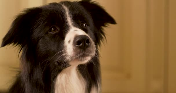 border collie barks in slow motion, Adorable border collie dog is tilting his head, dog, border collie, pet, animal, collie, puppy, cute, canine, black, isolated, breed, portrait, border, slow motion