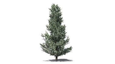 Fraser fir tree winter - isolated on white background