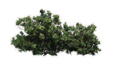 Boxwood - isolated on white background
