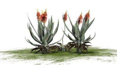 Aloe Vera plant - isolated on white background