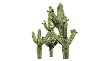 Saguaro cactus - isolated on white background