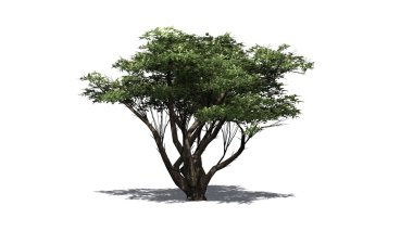 Acacia tree isolated on white background