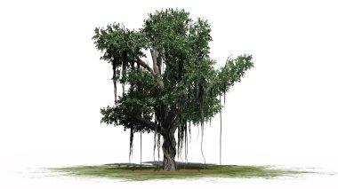 Chinese Banyan tree - isolated on white background