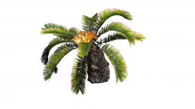 Sago Palm - separated on white background