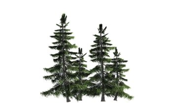 Alaska Cedar tree cluster isolated on white background