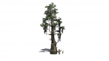 bald cypress tree with shadow - separated on white background