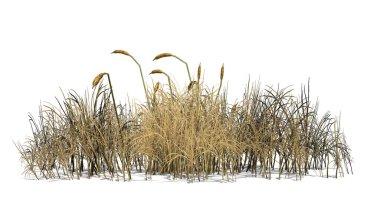 cattail plant in the autumn - isolated on white background