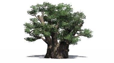 African Baobab tree - isolated on white background