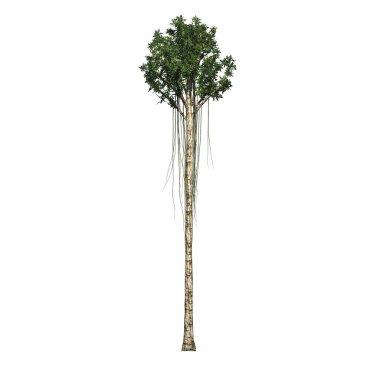 Agarwood tree - isolated on white background