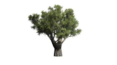 African Olive tree  - isolated on white background