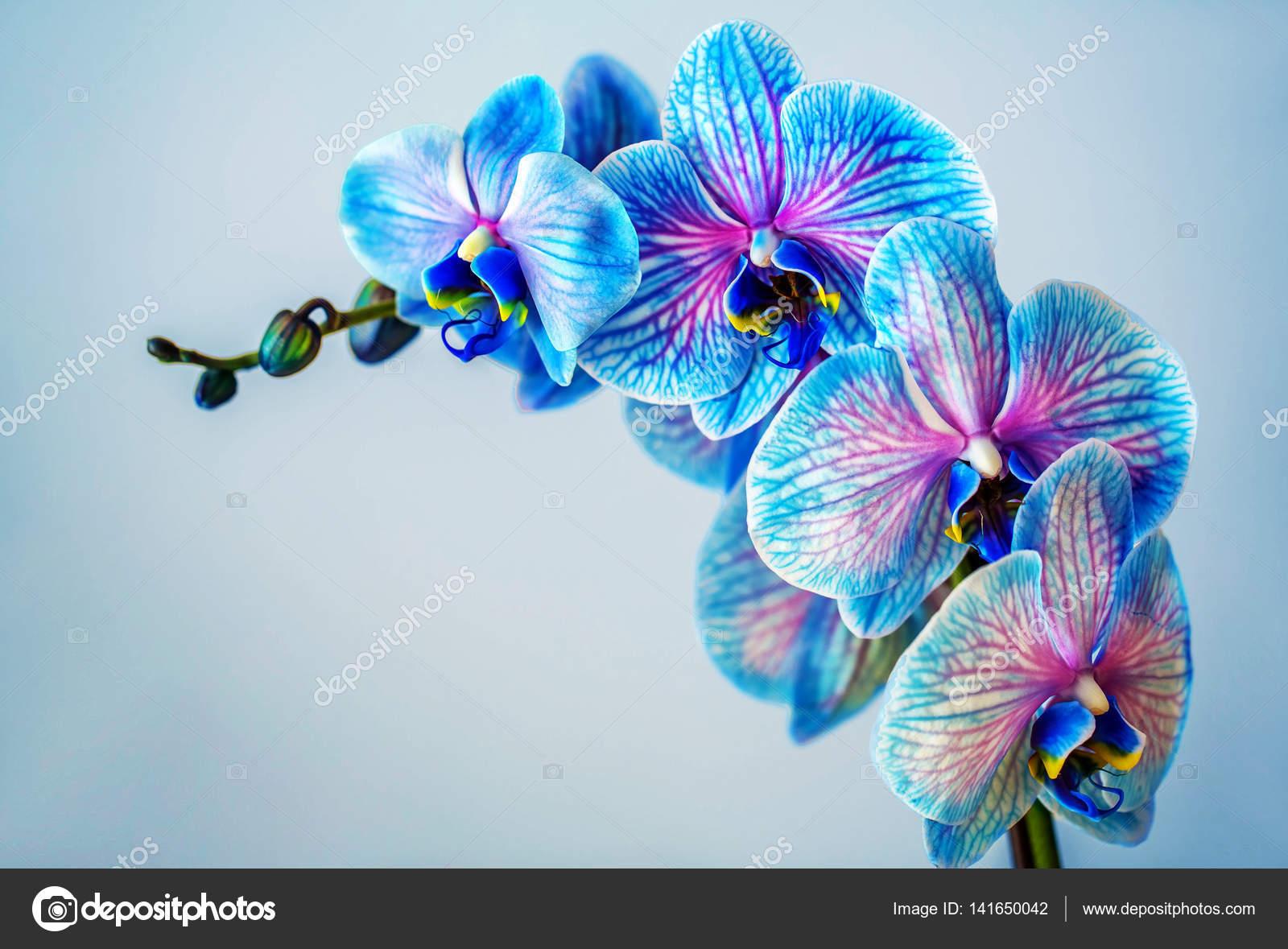 Fotos Orquidea Azul Orquidea Azul Brunch De Orquidea Con Flores