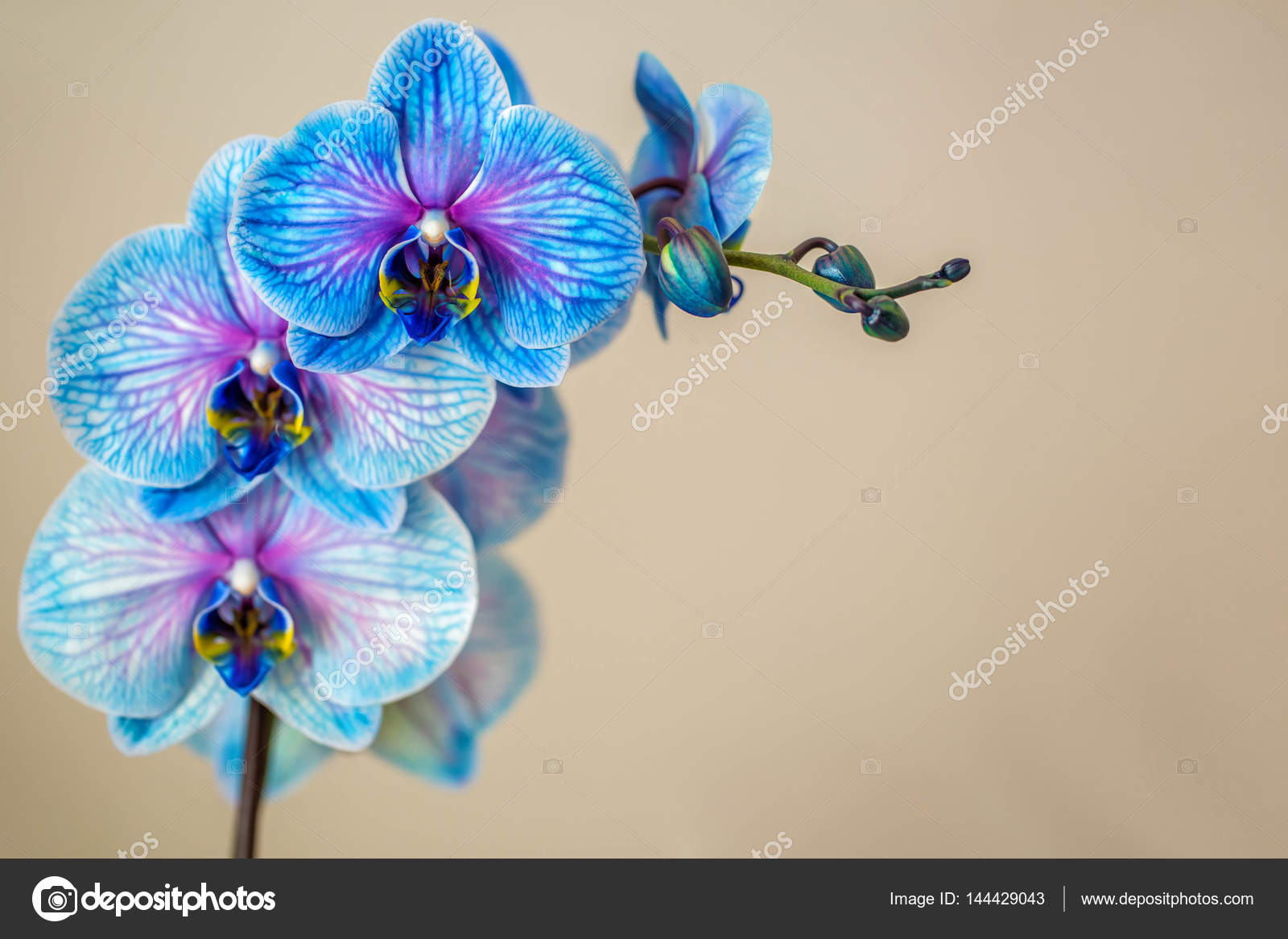 Fotos Flores Azules Y Violetas Orquidea Azul Brunch De Orquidea