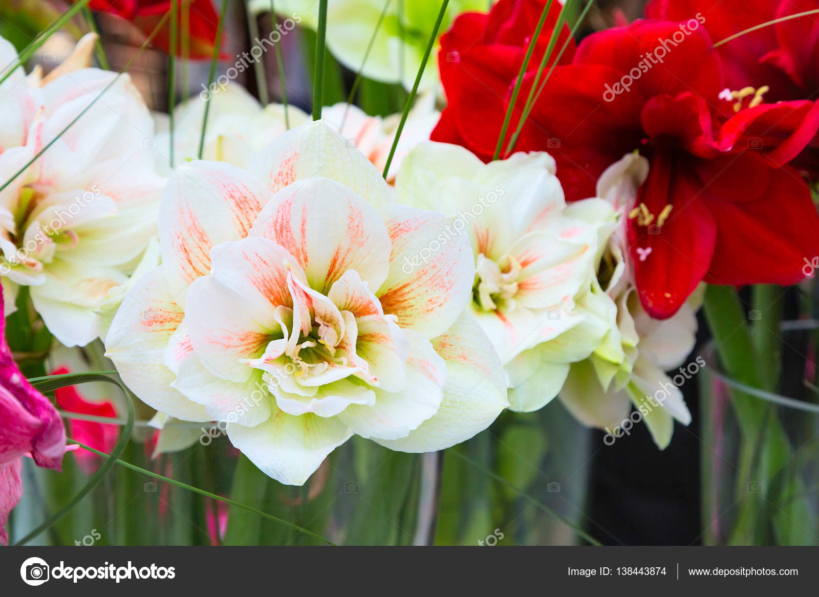 Beautiful White And Pink Lily Flower Blossom Macro Close Up Stock