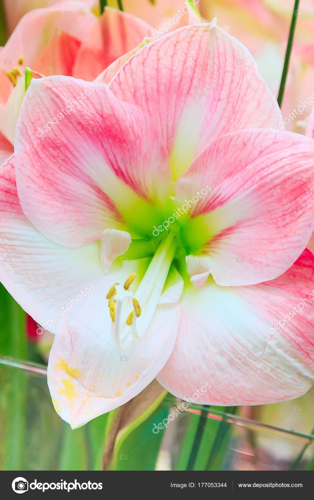 Beautiful White And Pink Lily Flower Stock Photo Kisamarkiza