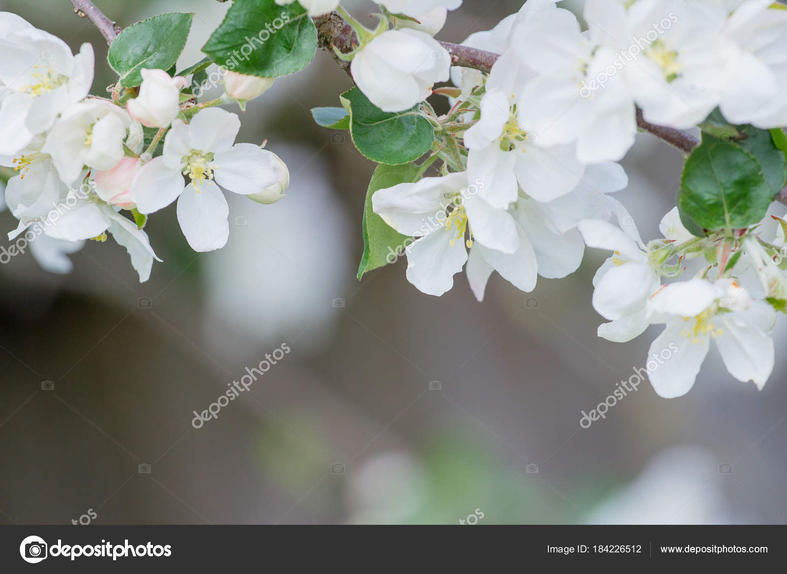 Perfect Flowers And Buds Of Apple Tree With Beautiful Bokeh Stock