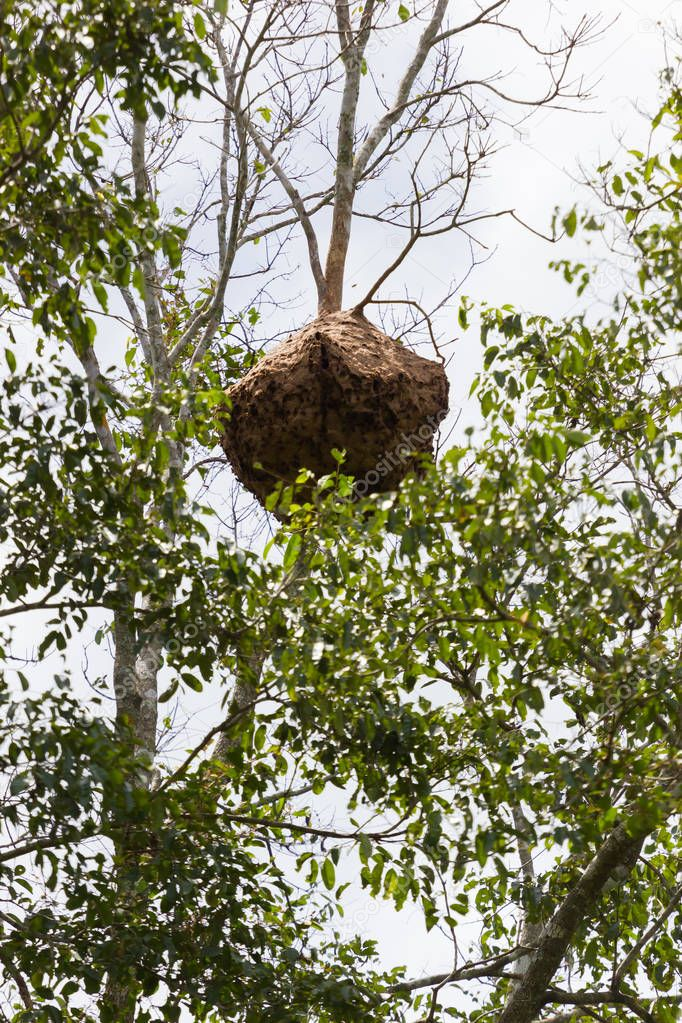 Paper wasp nest hangs on a tree in forest, Thailand