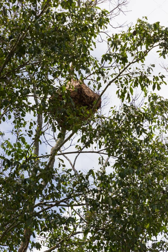 Large nest of wasps hangs overhead on a rubber tree branch, Thailand