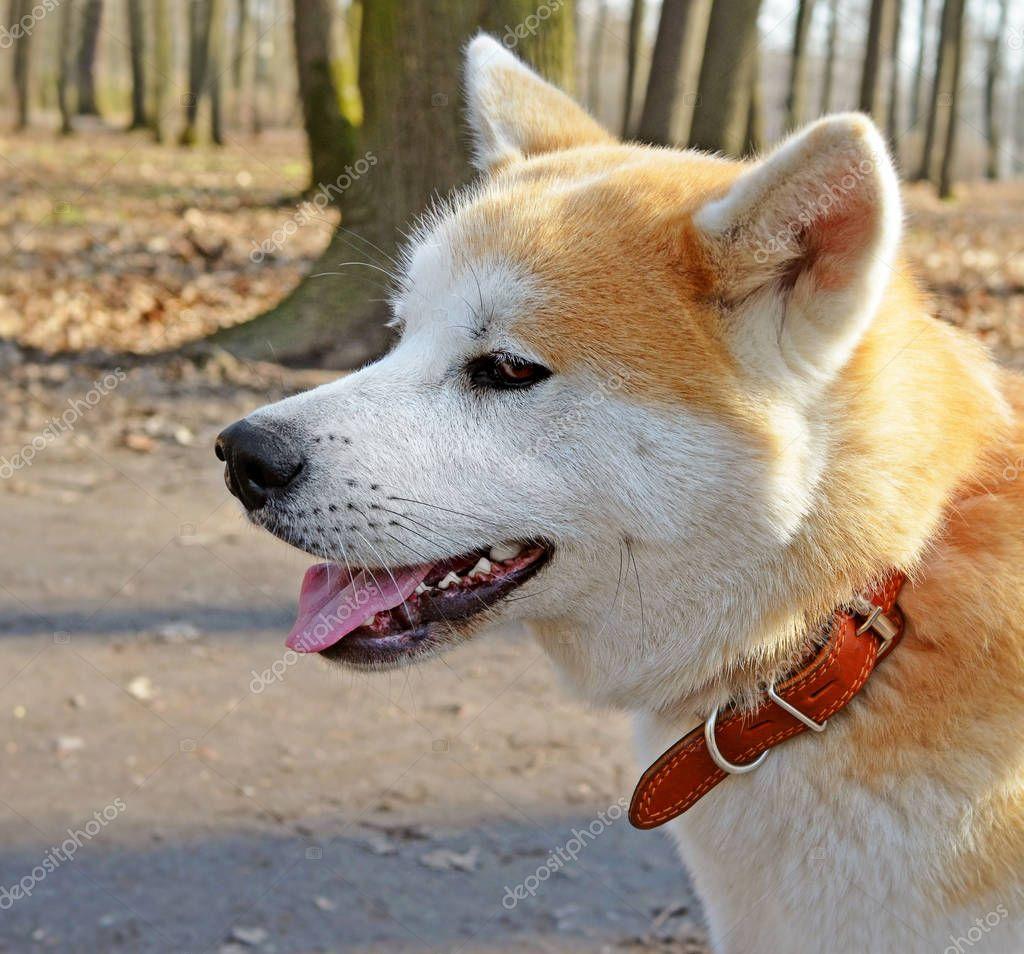 Head of Akita Inu dog