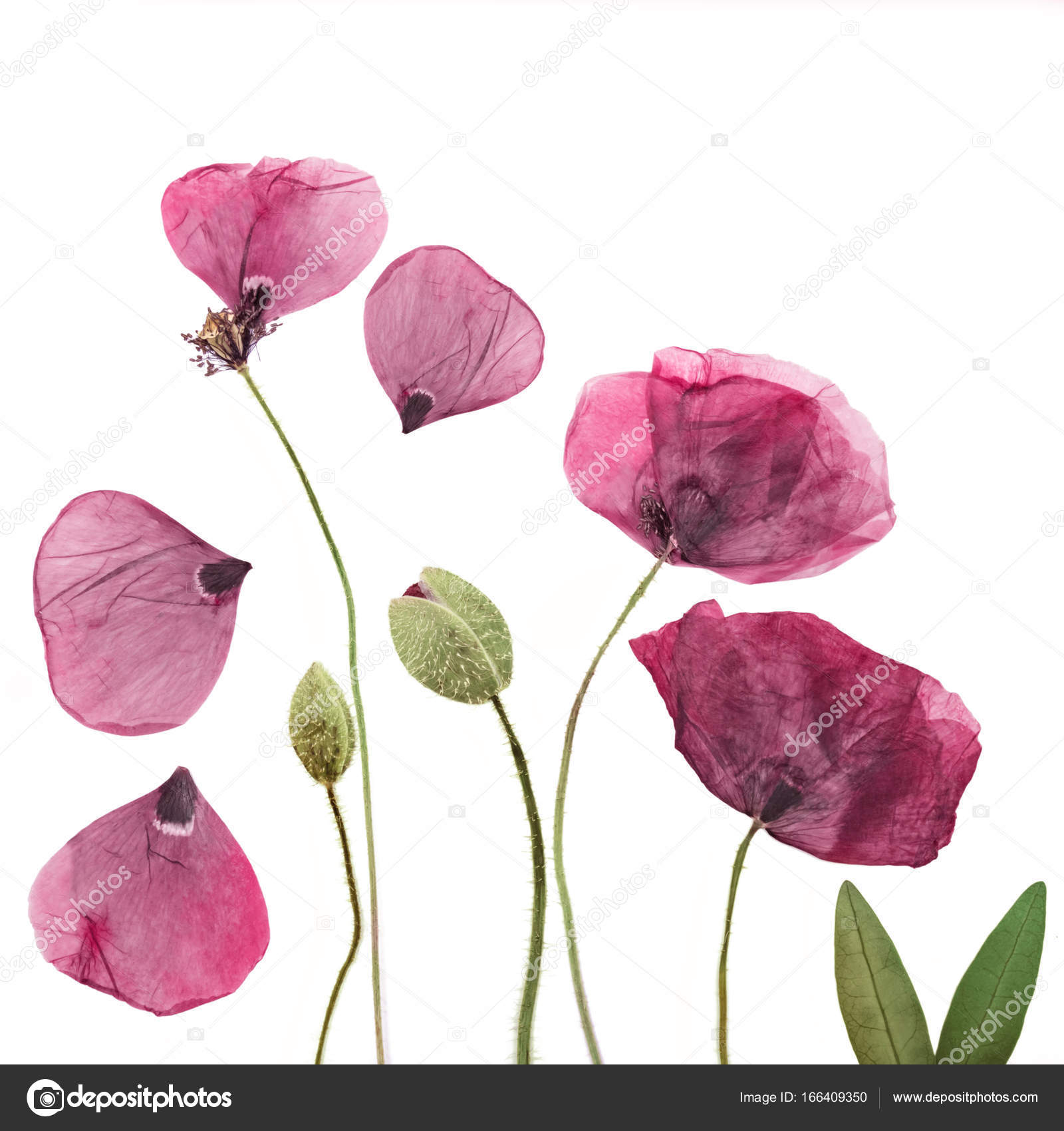 Pressed And Dried Poppies Flower Background Stock Photo