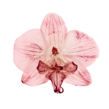 pink orchid dry delicate flowers and petals, pressed isolated on white background