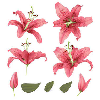 vector realistic lily flower blossom opened and closed with leaves set.