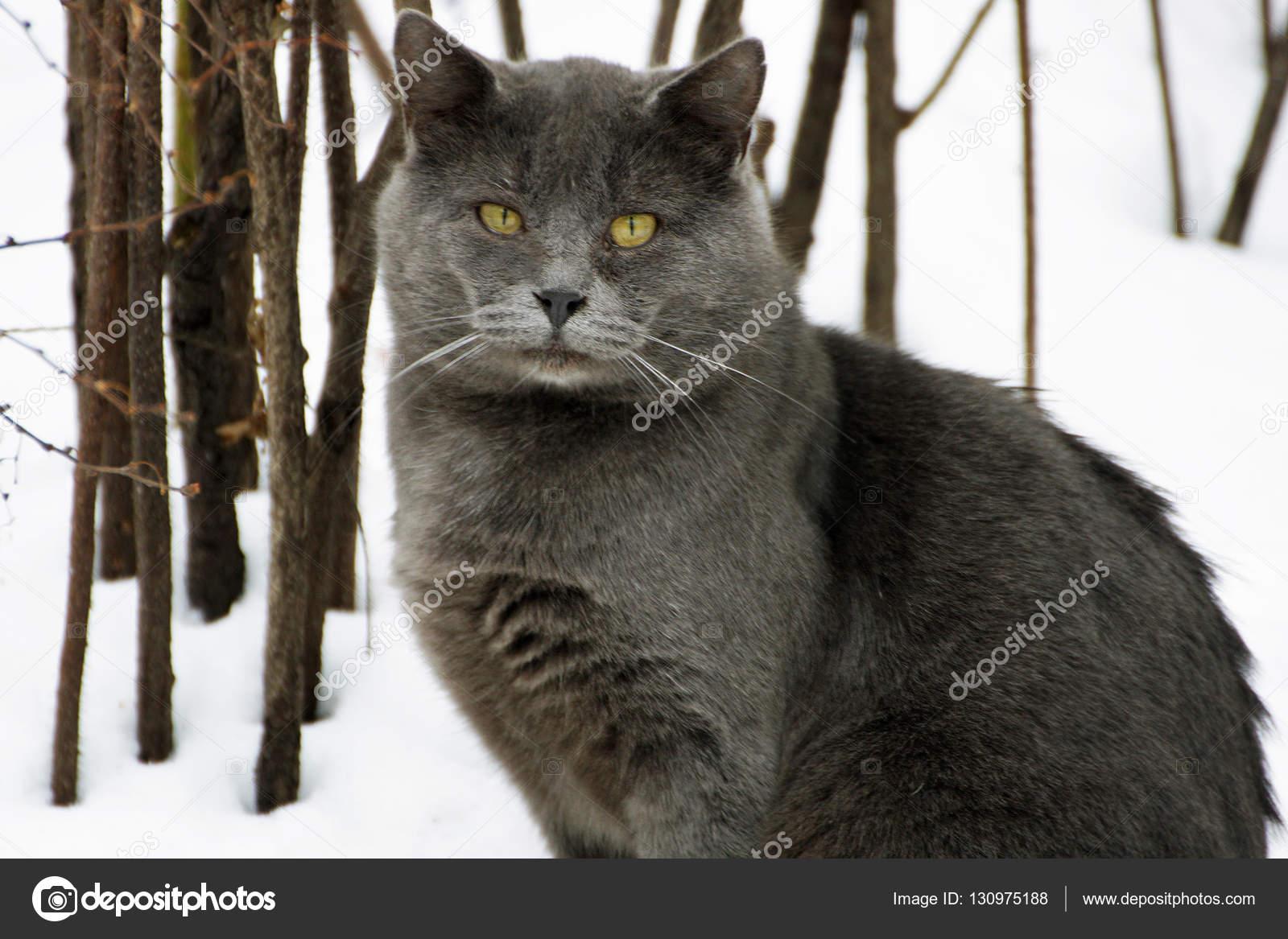 Grigio gatto grasso.