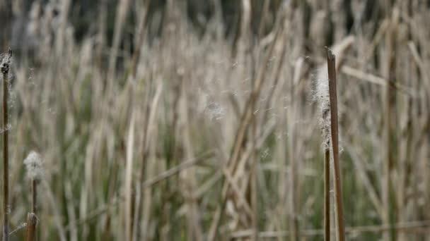 Typha rostliny bažiny