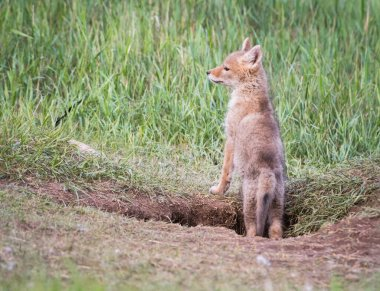 Coyote pup in the wild, at its den