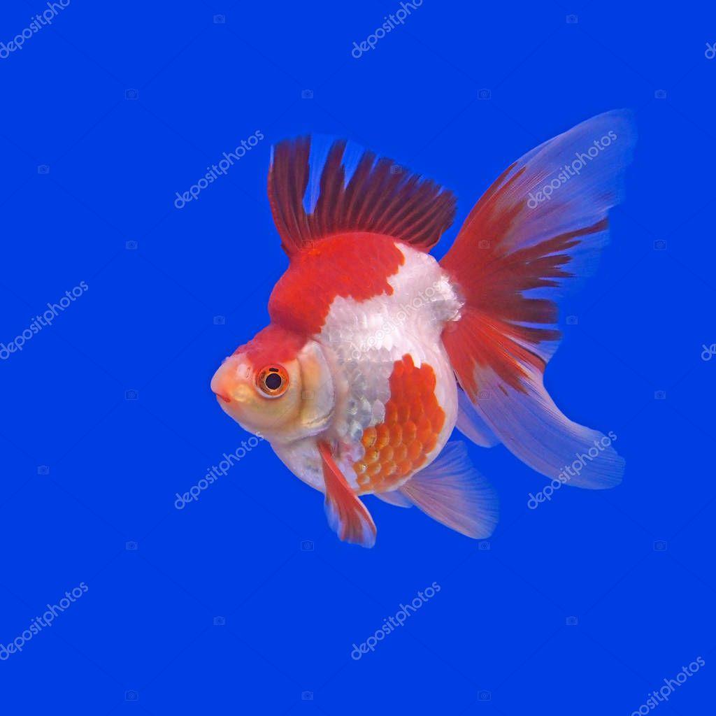 Beautiful Goldfish In The Aquarium Stock Photo C Leisuretime13 129610688