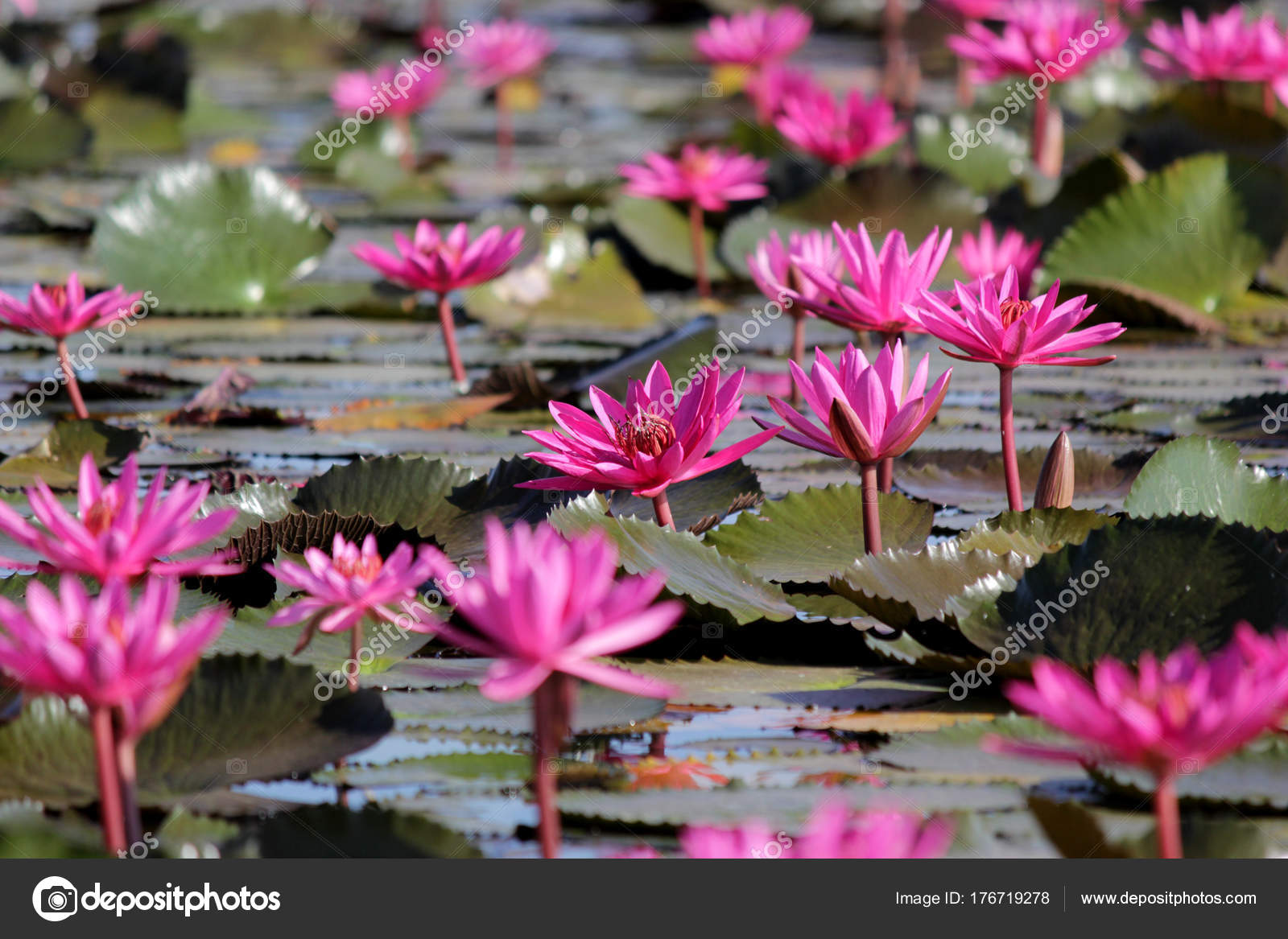 Red Lotus Flower In The Pond Stock Photo Leisuretime13 176719278