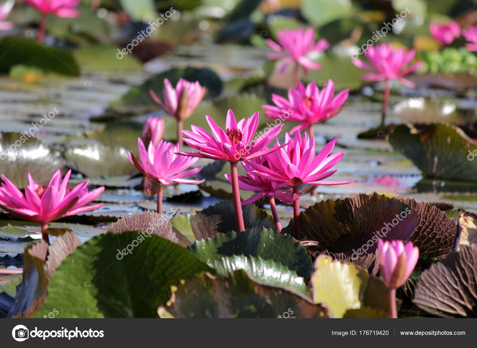Red Lotus Flower In The Pond Stock Photo Leisuretime13 176719420