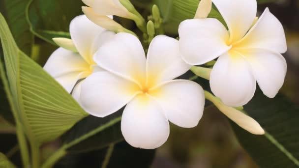Close up of white frangipani flowers