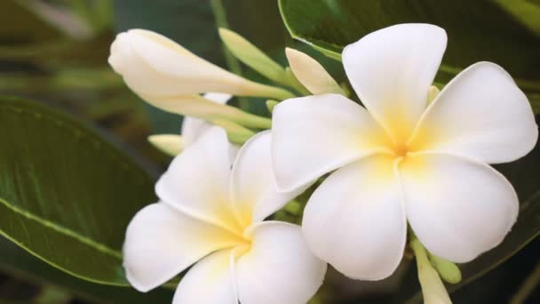 Close up of white frangipani flowers