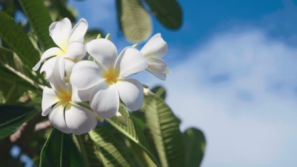 Close up of white frangipani flowers with blue sky