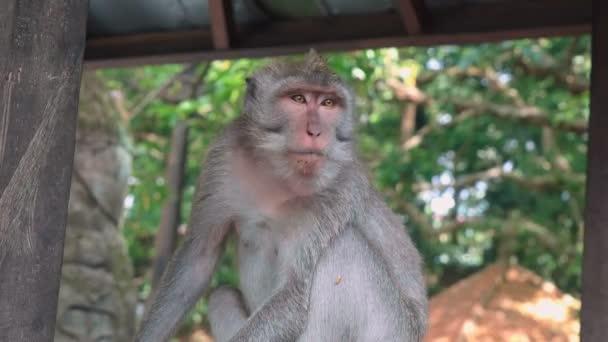 Majom ül nyugodtan Monkey Forest Sanctuary
