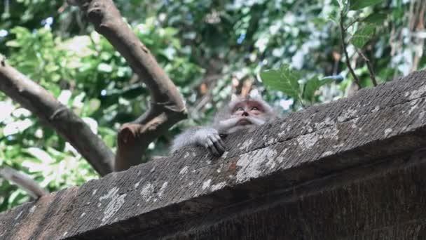 Monkey lying on stone parapet