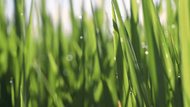 Ranní rosa na rýže rýžového pole Closeup
